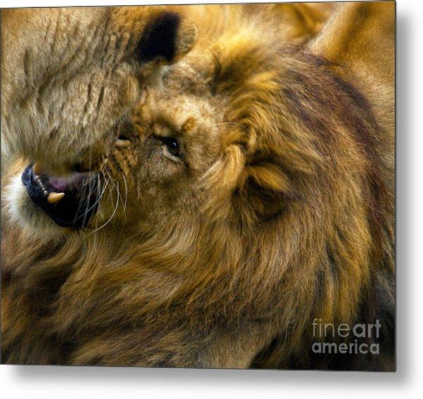 Lion Pride Metal Print by White Stork Gallety