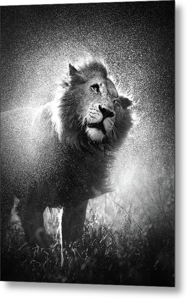 Lion Shaking Off Water Metal Print