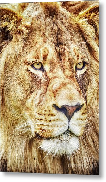 Lion-the King Of The Jungle Large Canvas Art, Canvas Print, Large Art, Large Wall Decor, Home Decor Metal Print
