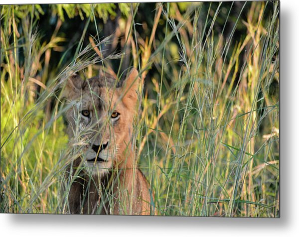 Lion Warily Watching Metal Print