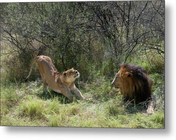 Lions Metal Print