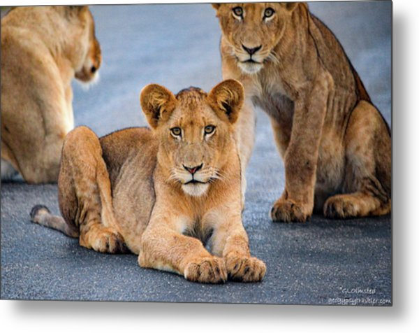 Lions Stare Metal Print