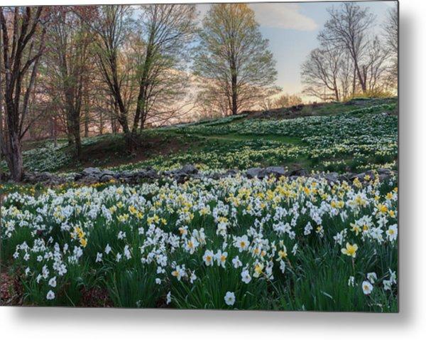 Litchfield Daffodils Flowering Landscape Metal Print