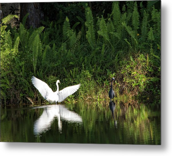 Little Blue Heron Non-impressed Metal Print