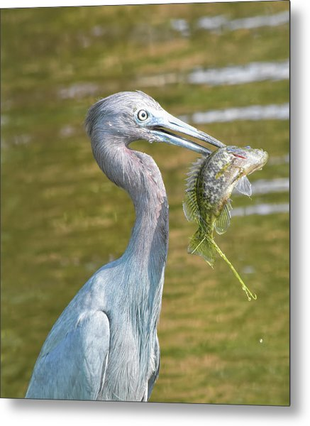 Little Blue Shows Me Its Catch Metal Print