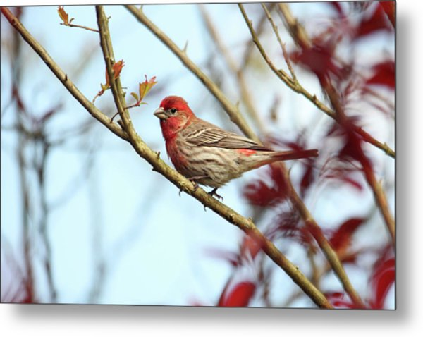 Little Finch Metal Print