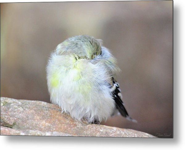 Little Sleeping Goldfinch Metal Print