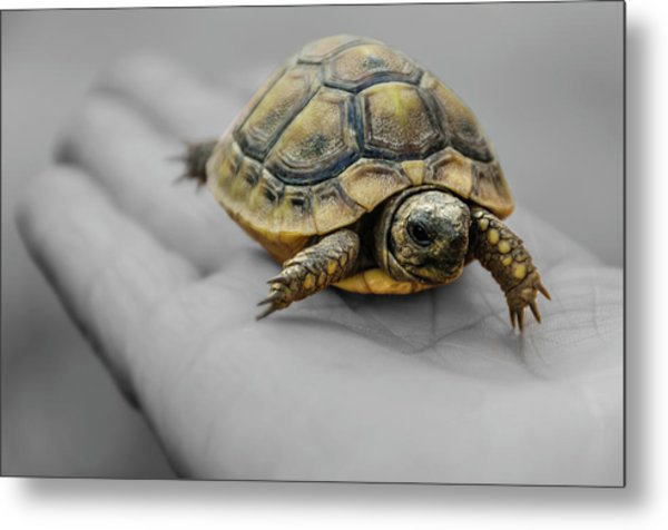 Little Turtle Baby Metal Print