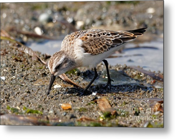 Metal Print featuring the photograph Little Western Sandpiper by Sue Harper
