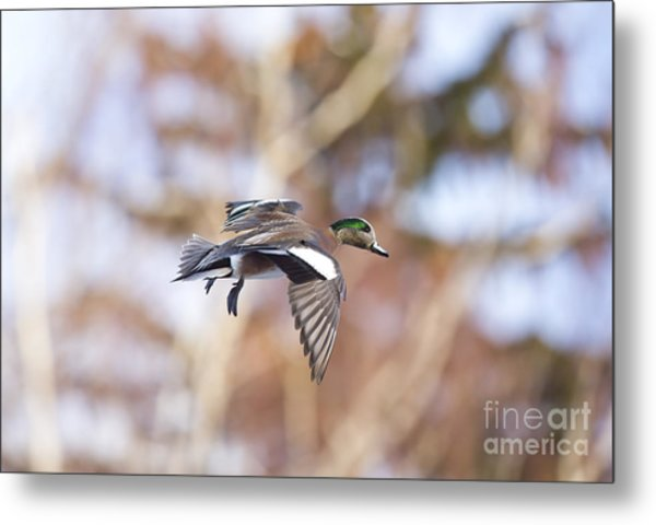 Locked Widgeon Metal Print