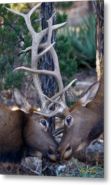 Locking Horns - Well Antlers Metal Print