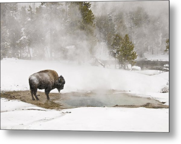 Bison Keeping Warm Metal Print