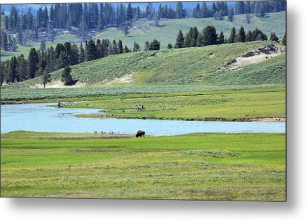 Lone Bison Out On The Prairie Metal Print