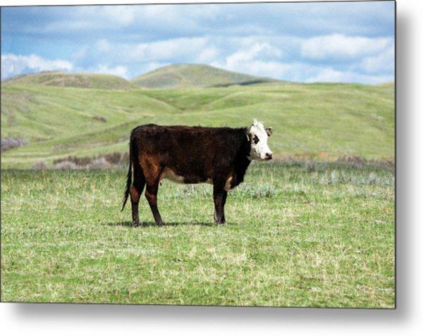 Lone Black Angus Cow Metal Print