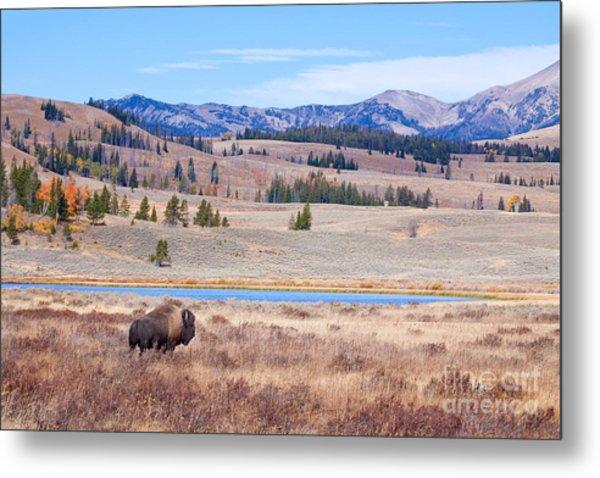 Lone Bull Buffalo Metal Print