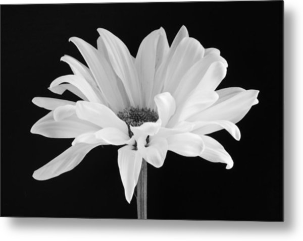 Lone Daisy Metal Print by Harry H Hicklin