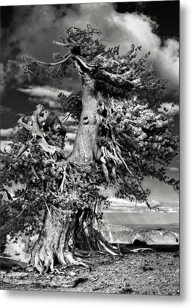 Lone Gnarled Old Bristlecone Pines At Crater Lake - Oregon Metal Print