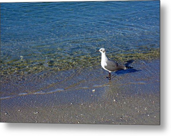 Lone Seagull At Miramar Beach In Naples Metal Print