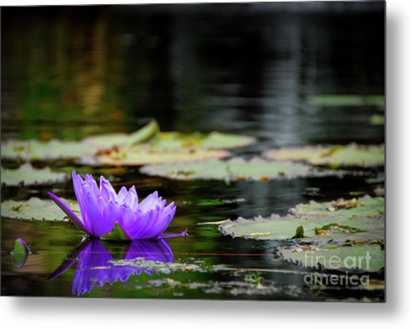 Lone Water Lilly Metal Print