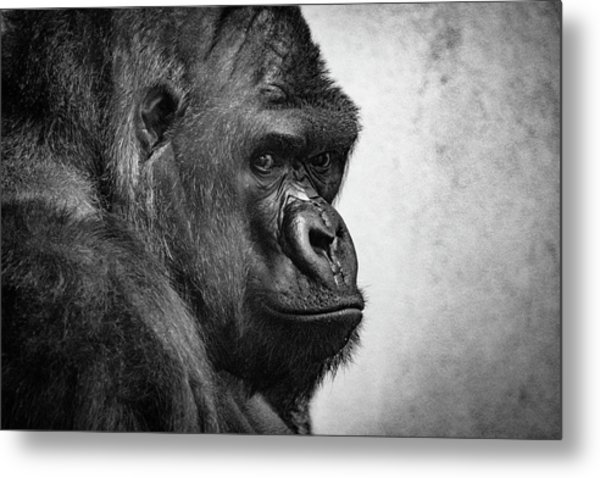Metal Print featuring the photograph Lonely Gorilla by Philip Rodgers