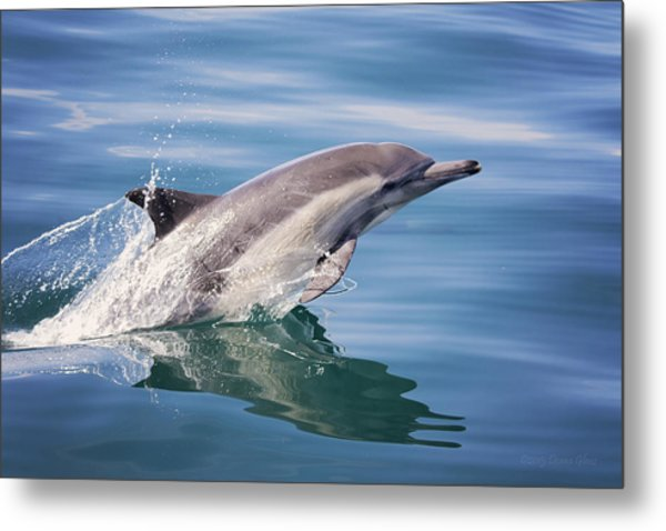 Long Beaked Common Dolphin Metal Print
