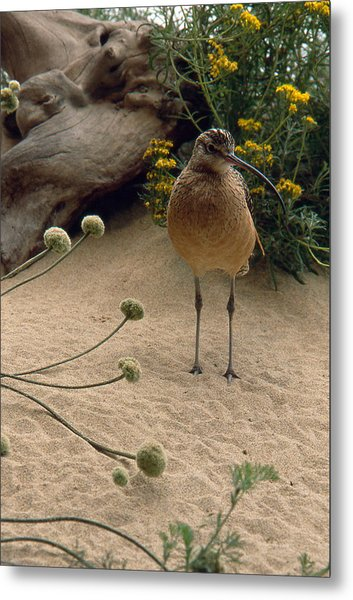 Long Billed Sandpiper Metal Print