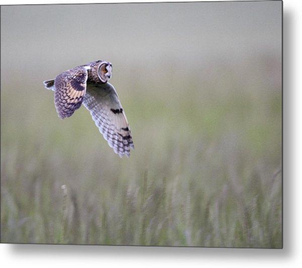 Long Eared Owl Hunting At Dusk Metal Print
