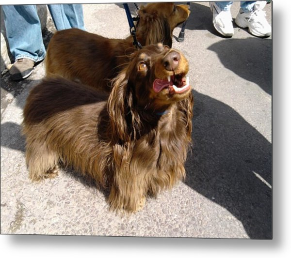 Long Haired Dachshund Making A Face Metal Print