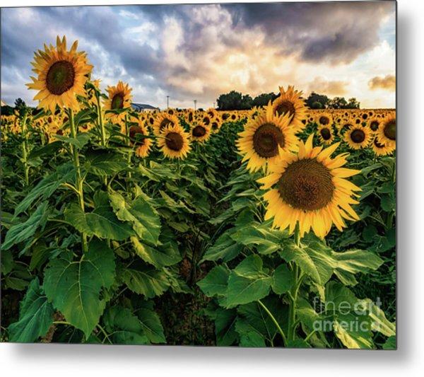 Long Island Sunflowers  Metal Print