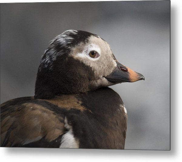 Long-tailed Stare Metal Print
