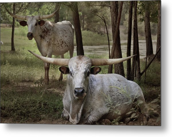 Longhorns On The Watch Metal Print