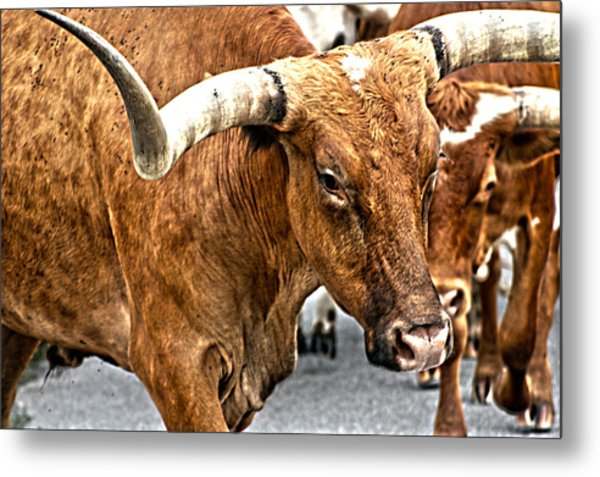 Longhorns Metal Print