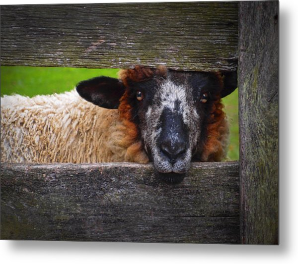 Metal Print featuring the photograph Lookin At Ewe by Skip Hunt