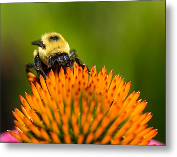 Looking For Nectar Metal Print