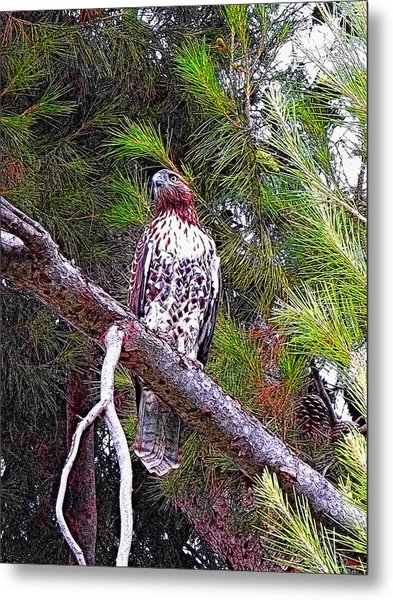 Looking For Prey - Red Tailed Hawk Metal Print
