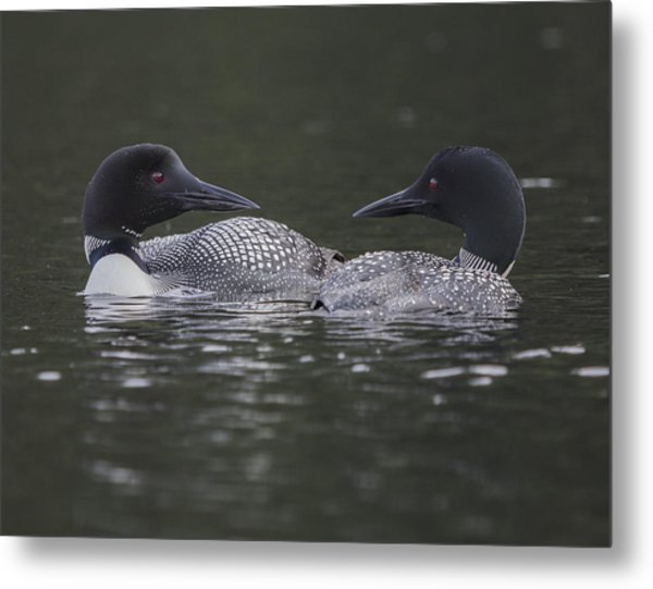 Loon Pair Metal Print