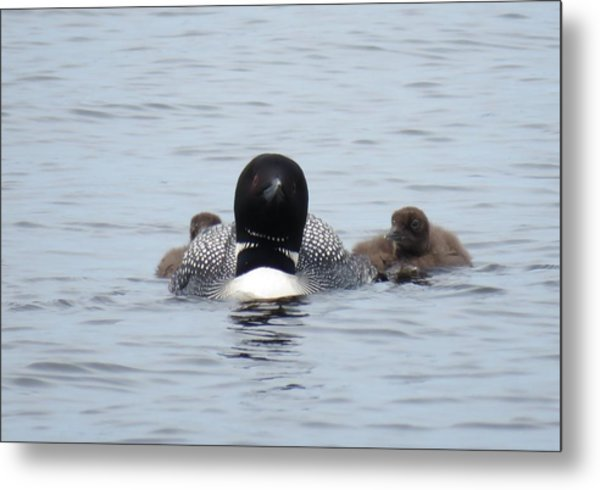 Loon With Chicks Metal Print