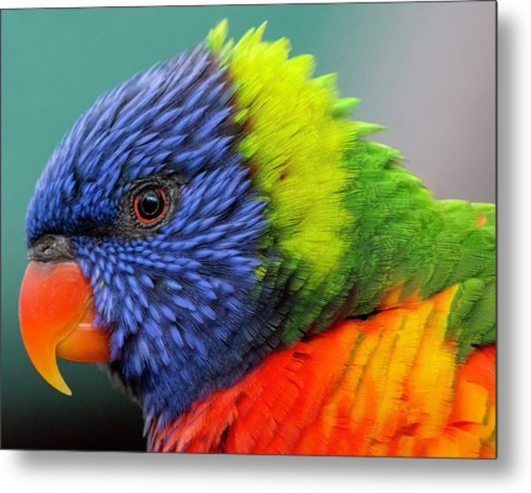 Lorikeet Portrait Metal Print