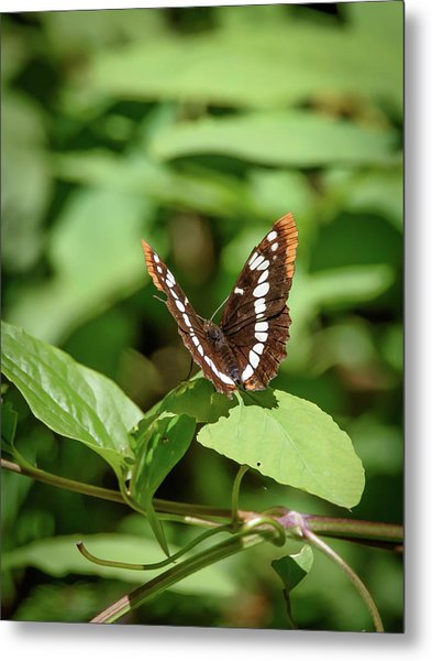 Lorquin's Admiral Butterfly Metal Print