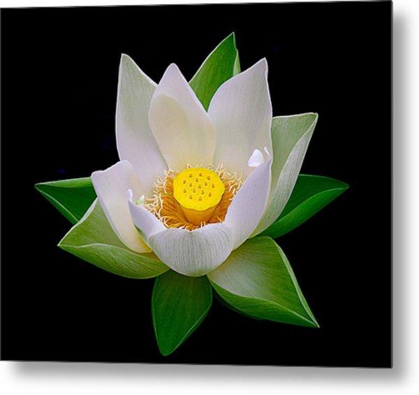 Lotus Blooming Metal Print