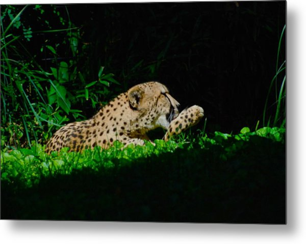 Lounging Cat Metal Print by Gene Sizemore