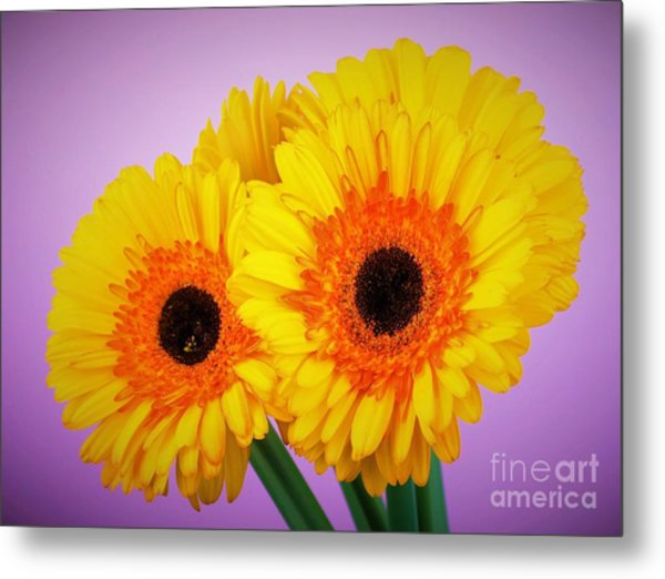 Lovely And Beautiful - Gerbera Daisies Metal Print
