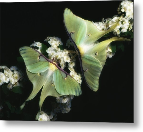 Luna Moths Metal Print