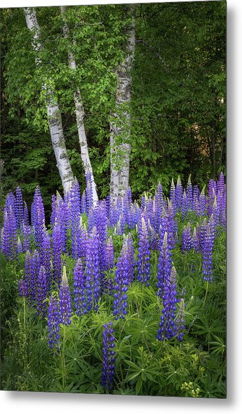 Lupine And Birch Tree Metal Print