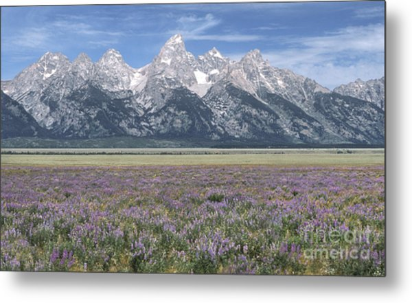Lupine And Grand Tetons Metal Print