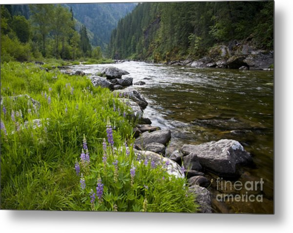 Lupines At Dawn Metal Print