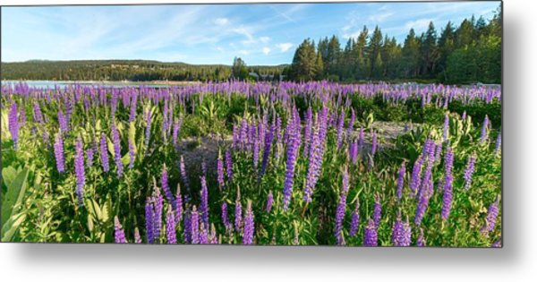 Lupines At Lake Tahoe Metal Print