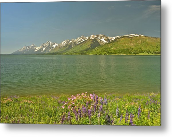 Lupines In The Tetons Metal Print