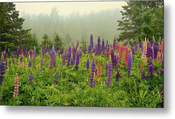 Lupins In The Mist Metal Print