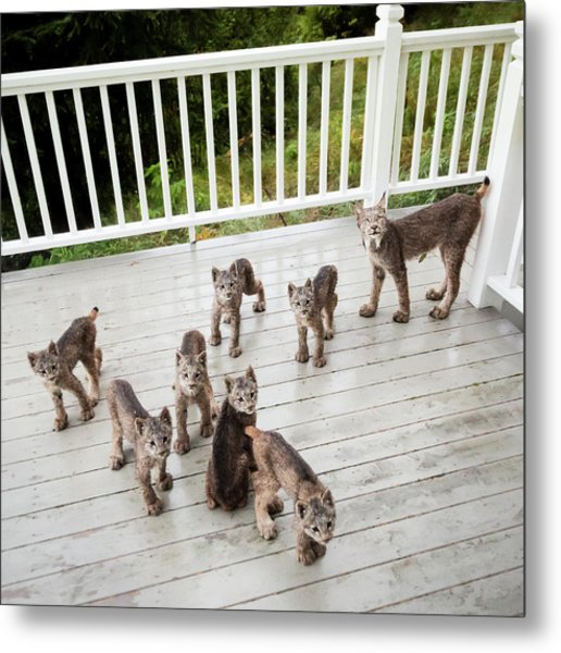 Lynx Family Portrait Metal Print